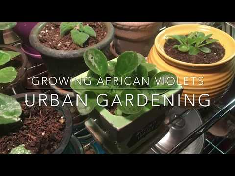 Propagating and Growing African Violets