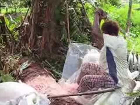Movie on traditional method of sago harvest for sago starch