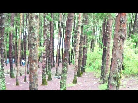 Ooty Tourism – Glimpse of Pine Forest