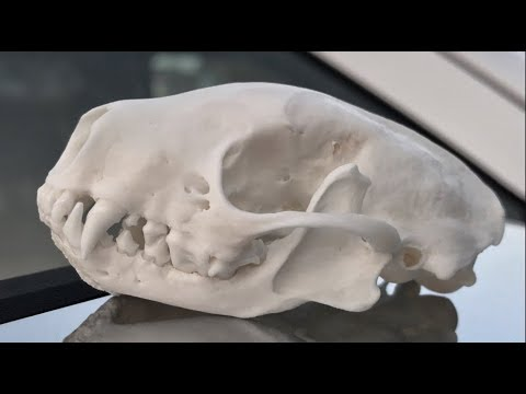 """HOW TO CLEAN A SKUNK SKULL """"GRAPHIC"""