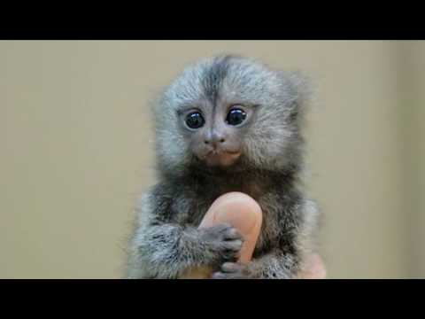 World's Smallest Monkeys! Thumb Monkey - Illegal Chinese Pet