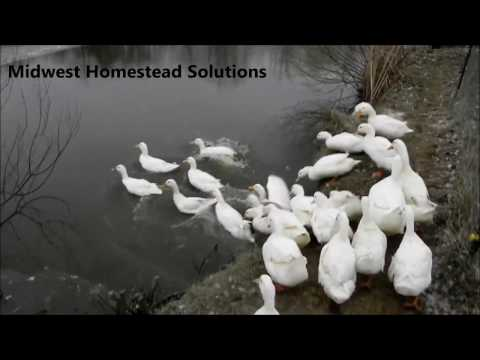 Cold Weather Duck Care, Freezing Temperatures