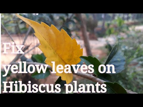 Hibiscus plant leaves turning yellow |How to fix it