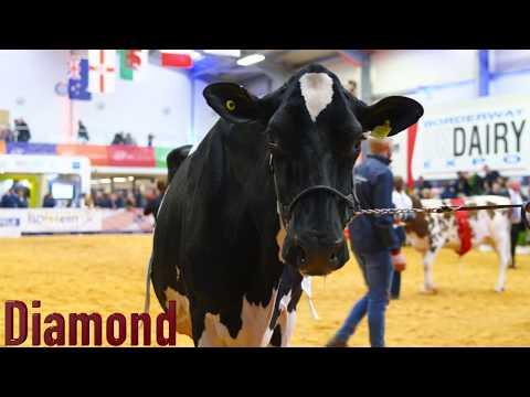 Knowlesmere Jordan Diamond EX96 4E.Reserve Grand at UK Dairy Expo