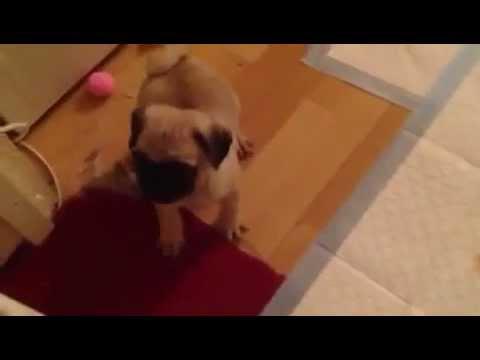 pug puppy and bulldog friend
