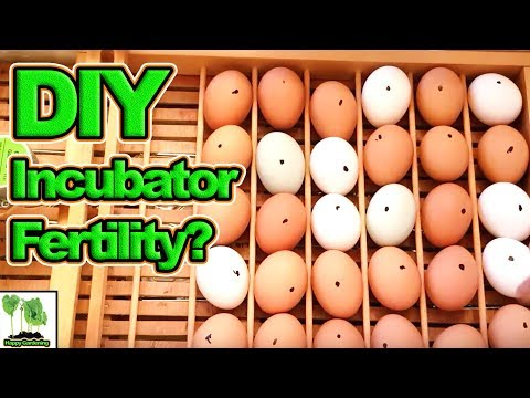 How Many Of The Chicken Eggs We Put In The DIY Incubator Were Fertile?