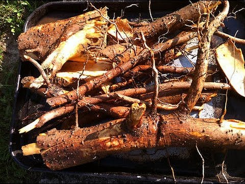 Digging sassafras root video: