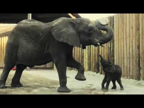 A bouncing baby... elephant