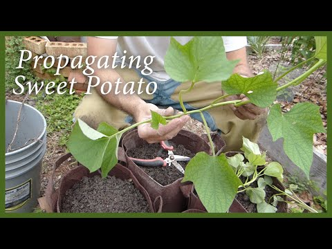 Planting Sweet Potatoes Slips From A Volunteer Plant
