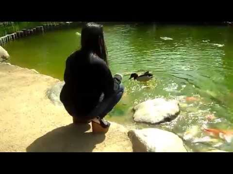 feeding Koi fish and a duck