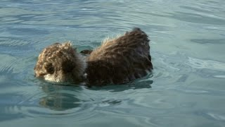 Sea otter pup is left to float alone - Alaska: Earth