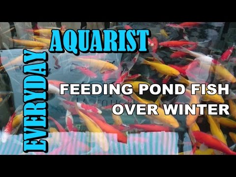 How to Feed Pond Goldfish & Koi in Autumn, Winter, Spring