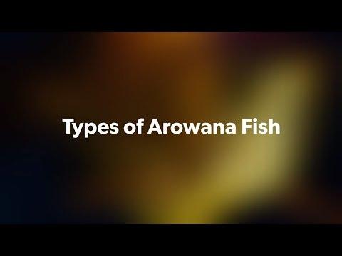 Arowana Fish.