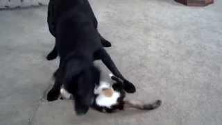 Dog Retreives Cat!