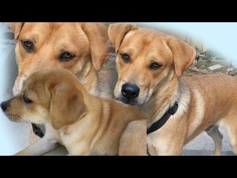 Pitbull and German Shepherd Mix Breed Dog One Year Update