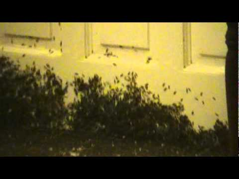 Thousands of swarming winged ants