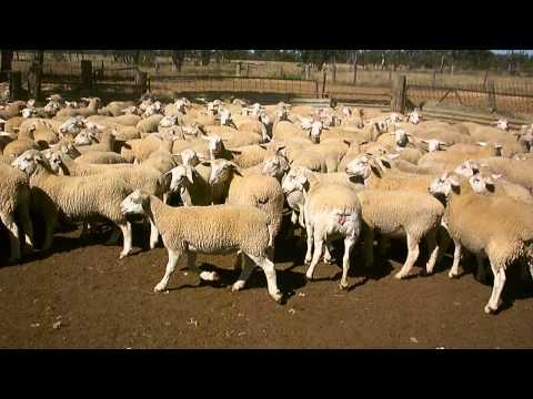 Xxx Mp4 Glenalvon Mixed Sex Lambs 021 3gp Sex