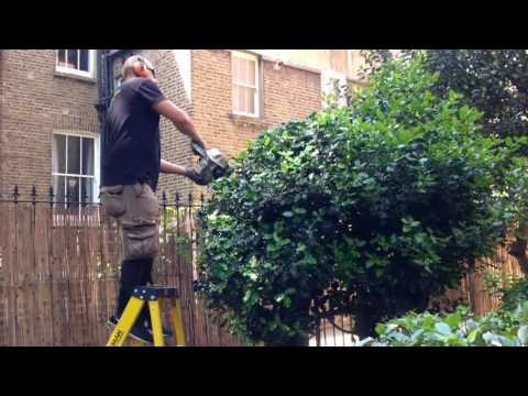Trimming the holly tree