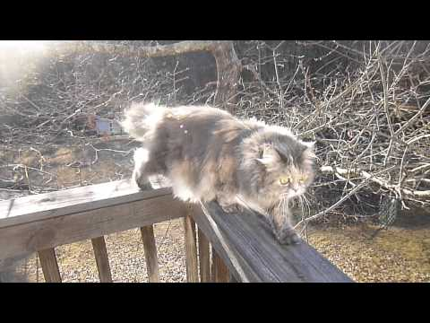 Dogs barking at cat walking on a rail