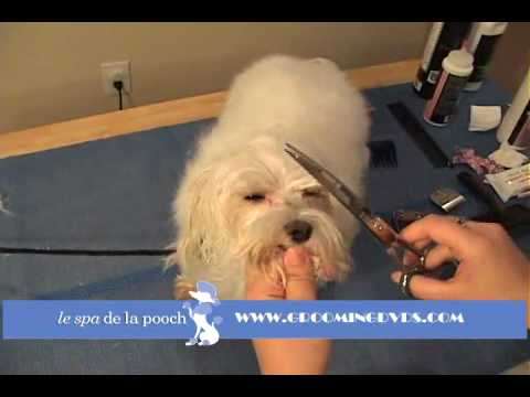 How To Trim Around The Eyes On A Maltese-Clean Hair From Eyes