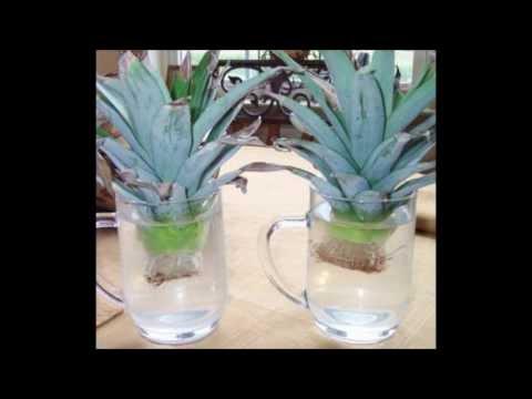 Growing Pineapple (Start to Finish)