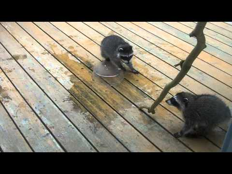 Baby Raccoons Playing with Branch and Water