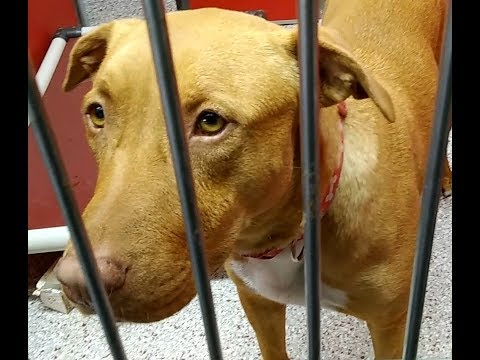 Pima Animal Care Center 4-26-18 Doggie Adoptable - Marylin 3 Year Old Female