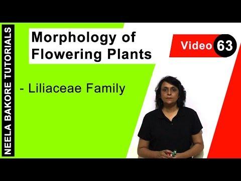 Morphology of Flowering Plants   Liliaceae Family