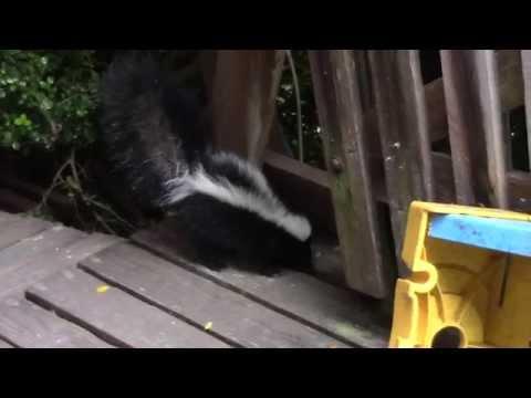 A skunk and a cat