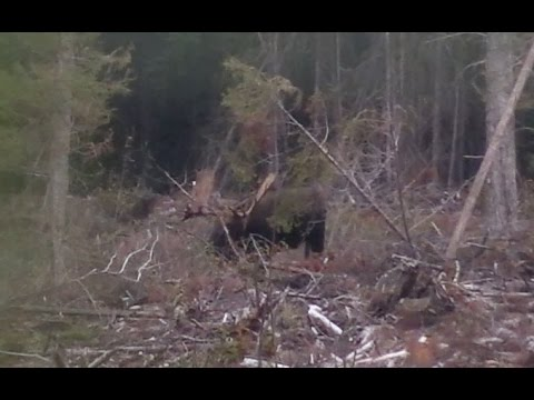 MOOSE MAYHEM!!! SIX MONSTER CANADIAN BULL MOOSE!!!
