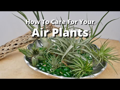 How To Care For Your Air Plants / Joy Us Garden