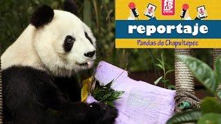 Los pandas de Chapultepec, origen e historia