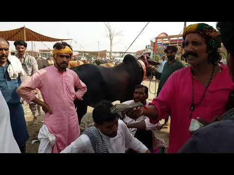 Bakra Mandi Price update bakra eid 2019 bakra mandi Pakistan