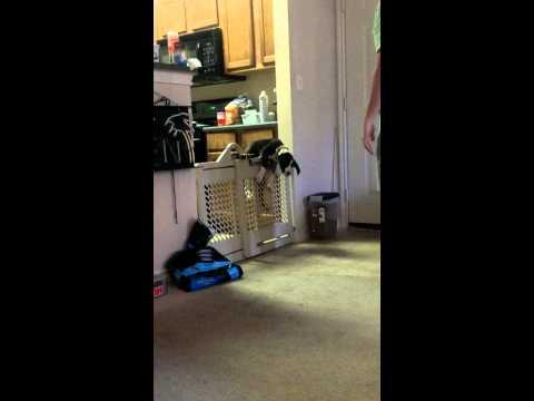 Ninja Puppy Sneaks Over Child's Gate
