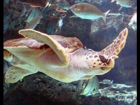 Endangered Ocean Life - Sea Turtles, Endangered Species