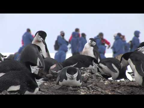 Greeted by Penguins at Antarctica's South Shetland Islands