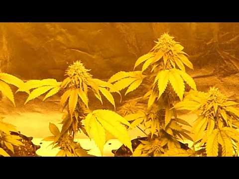 Cannabis Zwitter ?