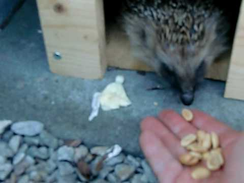 Wild hedgehog eating lunch