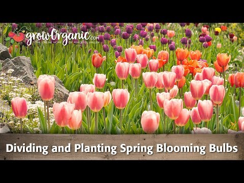 Dividing and Planting Spring Blooming Bulbs