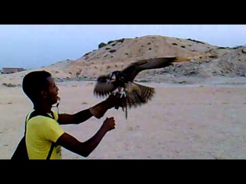 falconry the first day from training my lanner falcon