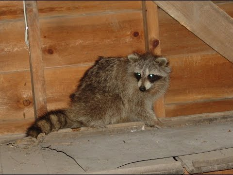 Raccoon Evicted From A Porch Roof
