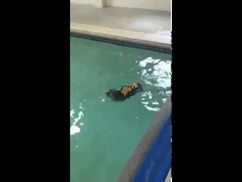 Yorkie Swimming