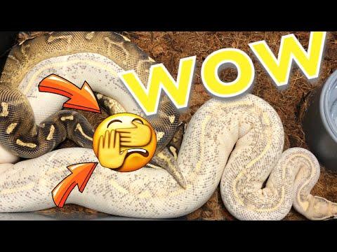 BREEDING BALL PYTHONS !! MUST WATCH 4K
