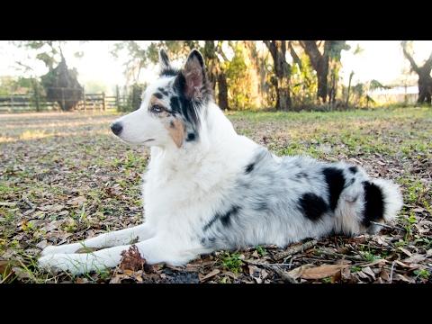 Australian Shepherd Q&A - Why Do My Aussie's Ears Stand Up?