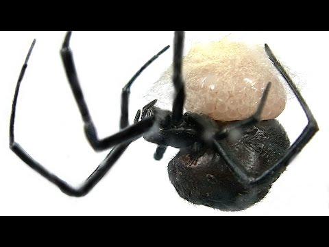 Redback Spider Laying Eggs Making Web Egg Sac Educational Video