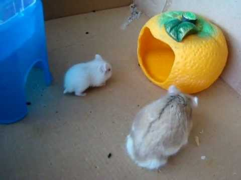 Daddy Hamster Scares Baby Hamster