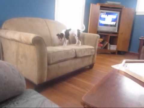 Tiny Dog Jumps From Couch To Couch ;o!!!