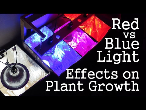 Experiment: Red Light vs Blue Light -How Spectrums Affect Plant Growth- LED vs CFL