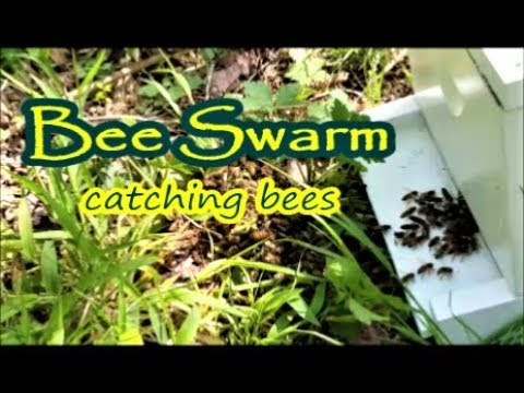 Catching Bees The Easy Way