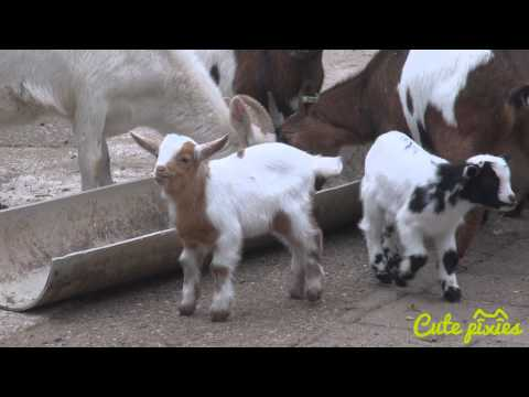 Baby goats feeding time